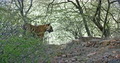 Sub-adult tiger walking on the rocks slope at the tree area.
