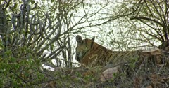 Sub-adult tiger resting on top of the rocks slope at the shadow of bushes. Wind blowing around the site.