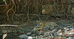 Tiger sitting in front of the rock wall at water edge.