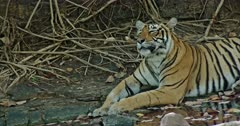 Tiger sitting at water edge near the tree roots.Resting in the shadow of trees.