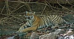 Tiger sitting at the water edge in front of the giant rock wall. Resting in the shadow of trees.