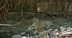 Tiger sitting at the water edge in front of the giant rock wall. Resting in the shadow of trees. water flowing between the rocks.