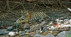 Tiger sitting in front of the giant rock wall and Resting in the shadow of trees. Water flowing between the rocks. Focus shift from tiger to dragon fly.