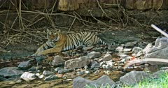 Tiger resting at water edge in front of the giant rock wall. Focus shift from dragon fly to Tiger and tiger to dragon fly.