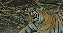 Tiger resting at the shadow of the giant rock wall. Tree roots covered in background rocks.