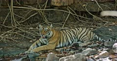 Tiger sitting at water edge in front of the giant rock wall and resting at the shadow of rock wall.
