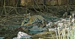 Tiger sitting at waterbrook edge in the shadow of tree branch. Near giant rock wall covered by tree roots.
