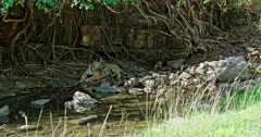 Tiger watching around at waterbrook edge in the shadow of tree branch. Near giant rock wall covered by tree roots.