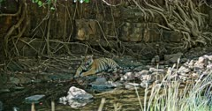 Tiger yawning at water brook edge and sitting under the shadow of tree branch. Near giant rock wall covered by tree roots.
