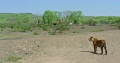 Tiger standing on the dry ground and walking towards the tree area.Background old Ranthambore palace