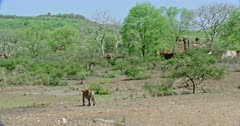 Tiger walking on the dry ground towards the tree area.Background old Ranthambore palace