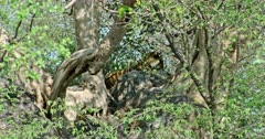 Sub-adult Tiger called arrowhead lying down on the rock under the shadow of tree branch. Heat waves blowing on air.
