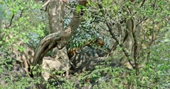 Sub-adult Tiger called arrowhead lying down on the rock under the shadow of tree branch. She looking at camera. Heat waves blowing on air. Sunlight partially falling on tiger face.