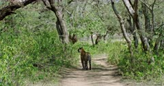 Sub-adult Tiger standing alone in middle of path under the shadow of trees.
