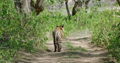 Sub-adult Tiger walking alone in forest path under the shadow of trees.