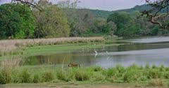 Tiger walking through the grass bushes near the lakeshore. Flock of birds roaming around the lake area.