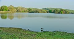General view of Ranthambore lake area. Flock of lapwing birds walking on water near the lakeshore.