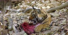 Sub-adult tiger biting carcass and biting pulls up the meat.