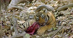 Sub-adult tiger sitting and biting, pulls up a carcass near a small tree trunk.