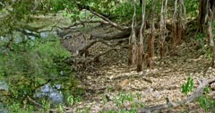 Sub-adult tiger cub sitting near the water's edge and pulls up a carcass. Its family members other tigers sleeping around the site. Water reflects the tree.