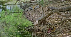 Foreground Sub-adult tiger sitting under the fallen tree trunk near the water's edge ,Cub eating a carcass and pulls up. Background its mother tiger sleeping near the water shore.