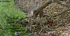 Sub-adult tiger sitting under the fallen tree trunk near the water's edge. Tiger eating a carcass and pulls up the meat.