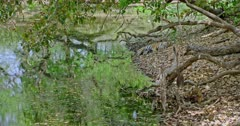 Sub-adult tiger cub eating a carcass at water's edge under the fallen tree trunk. Cub holding the carcass by its paws and biting pulls up the meat. Background tiger mother sleeping near the water shore far away from cub.