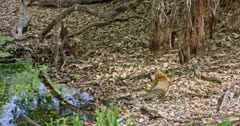 Sub-adult tiger cub eating a carcass at water's edge near the fallen tree trunk. Foreground another sub-adult tiger watching and lying down on dried leaves. Third sub-adult tiger sleeping behind the prop root.