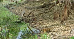 A hungry Sub-adult tiger eating a carcass near the water's edge. Foreground another sub-adult drinking water. Background its mother lying on the dried leaves and sleeping.