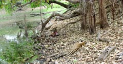 A hungry Sub-adult tiger eating a carcass near the water's edge. Tiger holding the carcass by its paws and biting. Besides Other two sub-adult Tigers sleeping on the dried leaves.