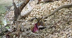 A hungry Sub-adult tiger sitting under the tree trunk eating a carcass. Tiger holding the carcass by its paws and biting flesh.