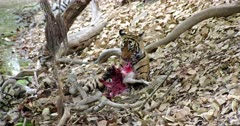 A hungry Sub-adult tiger sitting under the tree trunk eating a carcass. Tiger holding the carcass by its paws and licking, biting flesh.