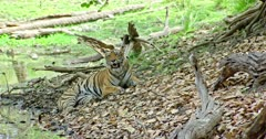 Tiger sitting on dried leaves near the water's edge and watching around. Fallen tree trunks and dried leaves filled on around the field.