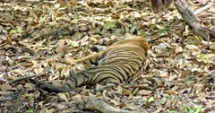 Sub-adult Tiger lying down on the dried leaves and sleeping. Sunlight falling on tiger body through the tree branch.