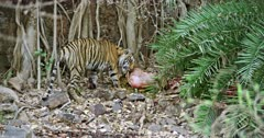 A hungry Tiger standing on rock stones and eating the carcass near the trees. Tiger pulls up the carcass with the mud. Background huge rock wall covered with tree roots.