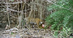 A hungry Tiger standing on rock stones and eating the carcass with mud near bushes. Background huge rock wall covered with tree roots.
