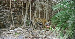 A hungry Tiger standing on rock stones and eating the carcass with mud. Background huge rock wall covered with tree roots.