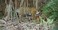 A hungry Tiger standing on rock stones and eating the carcass with mud. Background huge rock wall covered with tree roots. Tiger shaking the flesh for split the mud.