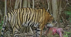A hungry Tiger eating the carcass with mud in front of huge rocks wall.