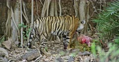 A hungry Tiger standing on the rock stones and eating carcass with mud. Background huge rock wall covered with tree roots.