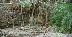 A hungry Tiger standing on the rock stones and eating carcass with mud. Background huge rock wall covered with tree roots. Tiger pulls up the flesh and shakes for split from mud.