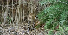 Sub-adult Tiger standing near the bushes and eating carcass with mud. Background huge rock wall covered with tree roots. Tiger pulls up the flesh and shaking for split the mud.