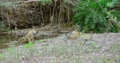 Sub-adult tiger cub sitting at water's edge and smelling on ground. Besides Tiger mother and her another sub-adult cub sitting on rocks. Background one aggressive Tiger hiding at bushes.