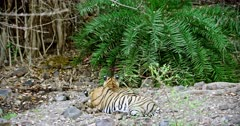 Tiger drags out the carcass at behind the bushes. Foreground tiger mother and sub-adult cub sitting on rock stones. Sub-adult cub watching at bushes and its mother heads down on paws.