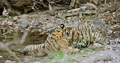 Sub-adult tiger sitting at water's edge. Another tiger cub sitting near by and drinking water. Sub-adult cub licking its sibling and licking paws.