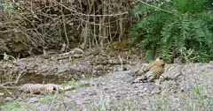 Sub-adult male tiger lying on its mother and sleeping. Near by Another sub-adult cub lying down at the water's edge.