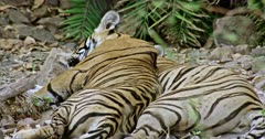 Sub-adult male tiger lying on its mother and resting. Tiger mother lying down on the rock stones.