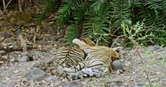 Tiger mother lying down on rock stones and keeping her paw on male cub. Sub-adult male cub sitting near his mother and heads down on paws.