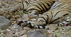 Tiger mother and her sub-adult male lying down on rock stones. Mother tiger keeping her paw on male cub.