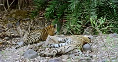 Tiger mother lying on rock stones. Her sub-adult male cub sitting near by and watching the bushes.